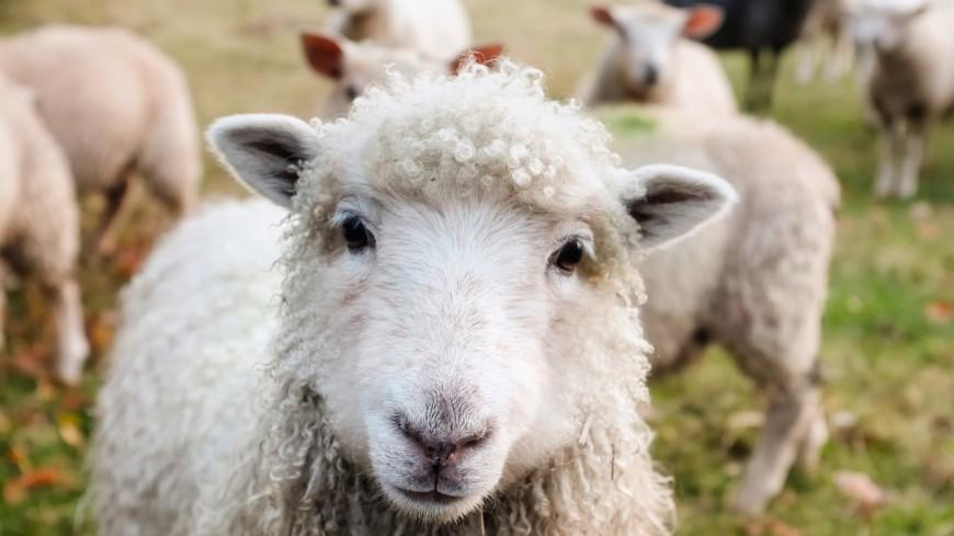 Les 24 moutons volés à Vevey ont été retrouvés !