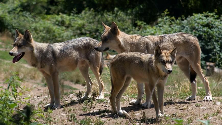 Une attaque de loup dans les Aravis