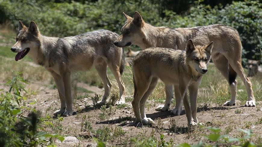 Un loup abattu dans le Chablais