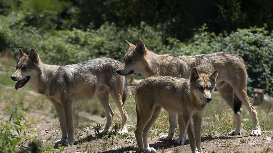 Un loup mâle découvert en Haute-Savoie