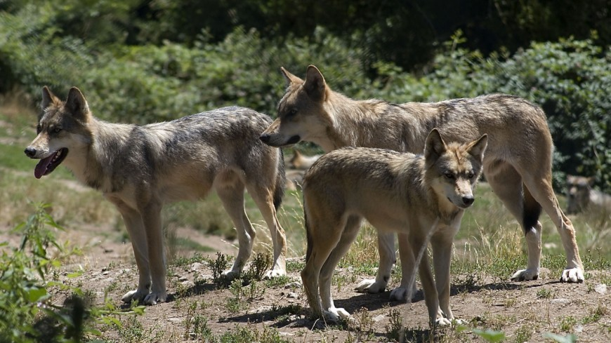 Le loup a de nouveau frappé en Savoie