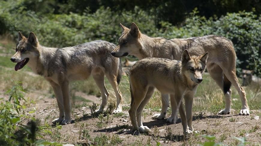 Le loup continue de faire polémique en Savoie