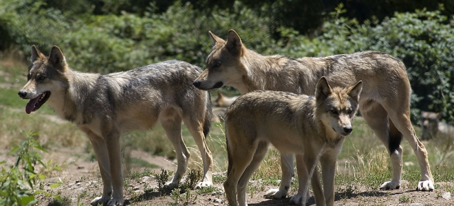 40 loups pourront être abattus en 2017/2018